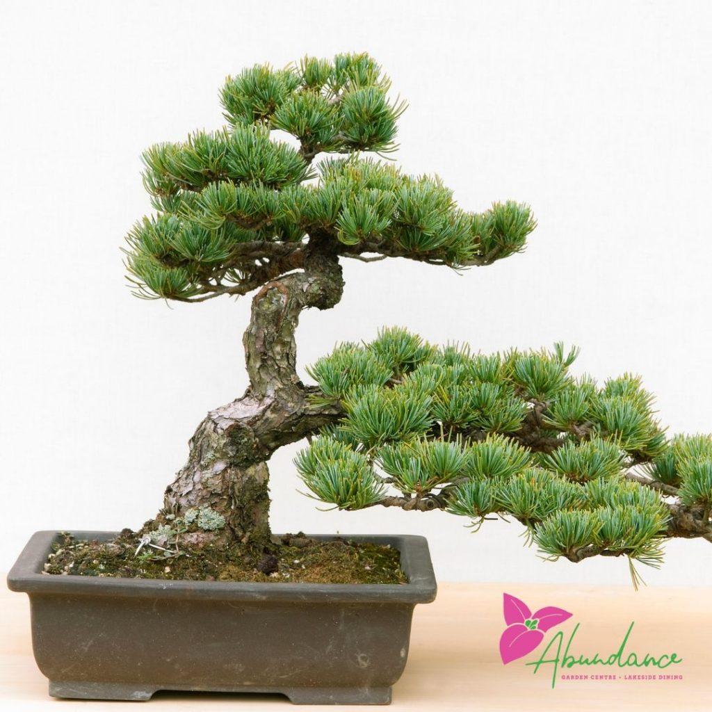 Bonsai-tree-port-macquarie