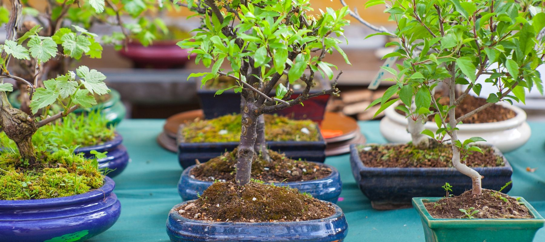 Bonsai-trees-port-macquarie