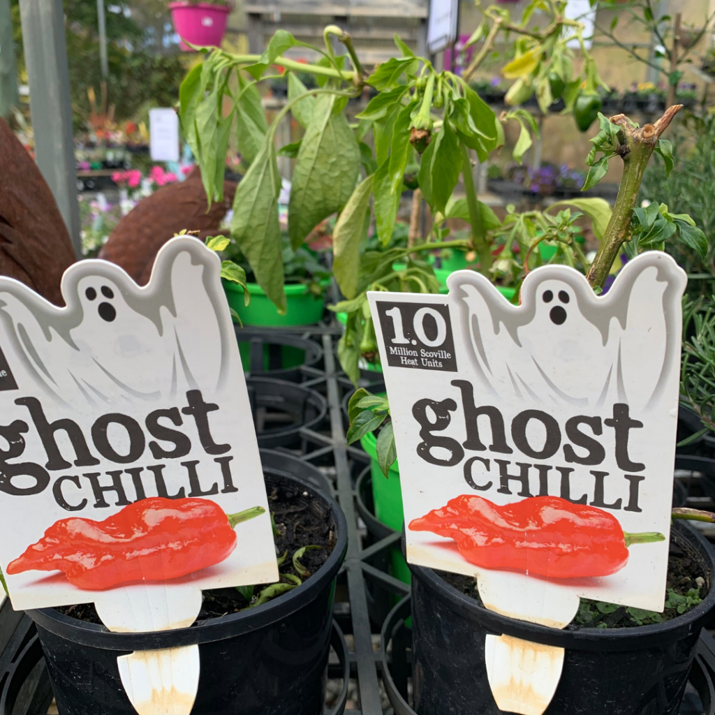 Ghost-Chilli-Plants-Abundance-Garden-Centre